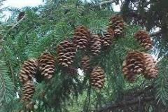 sprucecones